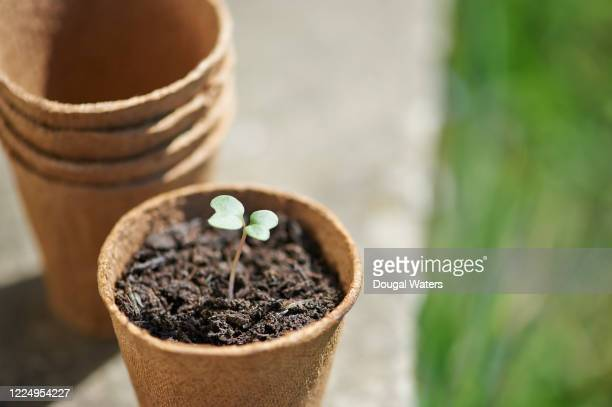 young broccoli seedling growing in plastic free pot outdoors. - pot plant stock pictures, royalty-free photos & images