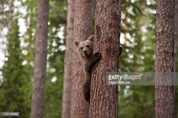 Young brown bear climbing a tree