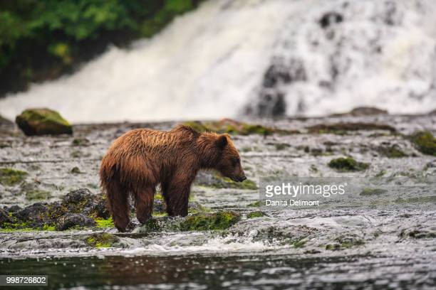 young brown bear (ursus arctos) fishing for spawning salmon at freshwater bay creek in tongass national forest, tenakee inlet, chichagof island, alaska, usa - isola di chichagof foto e immagini stock