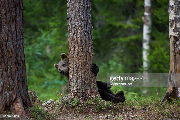 Young brown bear hiding behind a tree.
