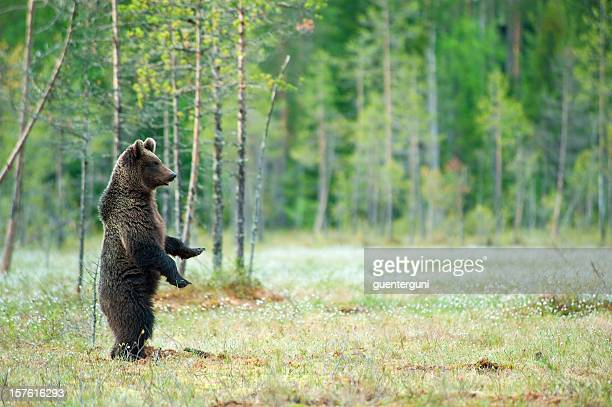 young brown bear standing in a swamp, wildlife-shot - good posture stock pictures, royalty-free photos & images