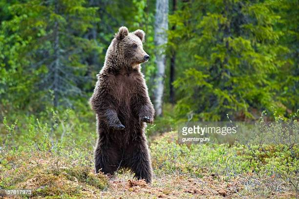 Young Brown Bear standing in a swamp, wildlife-shot