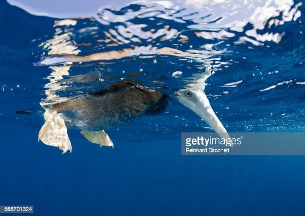 young brown booby peering underwater (sula - brown booby stock pictures, royalty-free photos & images