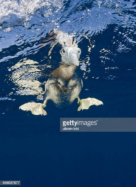 Young Brown Booby Sula leucogaster Marshall Islands Bikini Atoll Micronesia Pacific Ocean