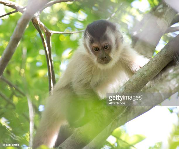 a young brown capuchin monkey, cebus apella, in a tree. - alex saberi foto e immagini stock