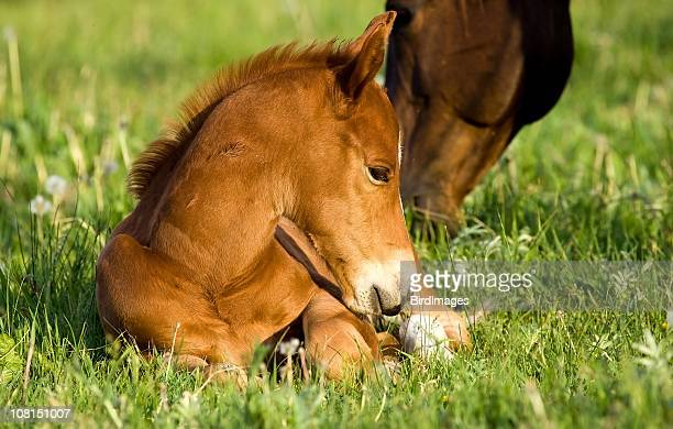 Young brown pony lying on green grass