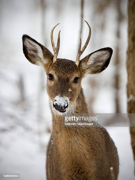 young buck in snow - white tail deer stock photos and pictures