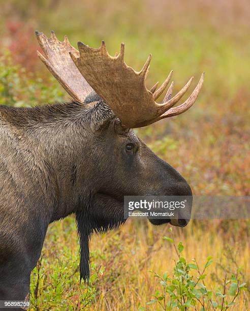 Young bull moose in fall tundra, Alaska