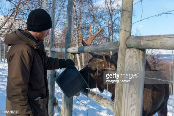 A young bull moose is being fed at a wildlife park in northern Norway