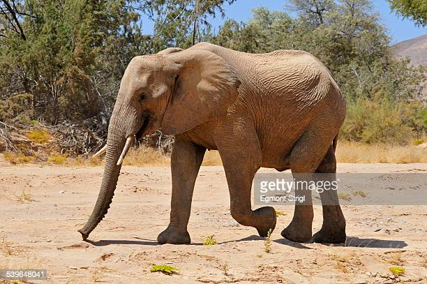 young bull of the rare namibian desert elephant -loxodonta africana-, hoanib river, namib desert, kaokoland, kaokoveld, kunene province, namibia - desert elephant stock pictures, royalty-free photos & images