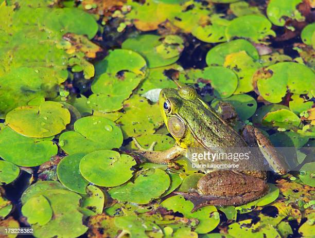 Young Bullfrog In A Bog
