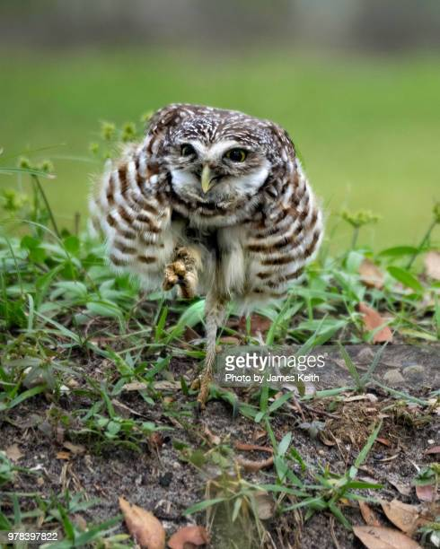 A young burrowing owl struts back to its burrow while puffing up its feathers to appear larger.