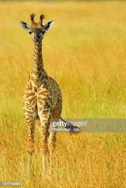 Young calf of giraffe
