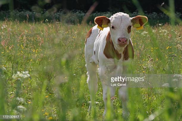 A young calf standing in the meadow
