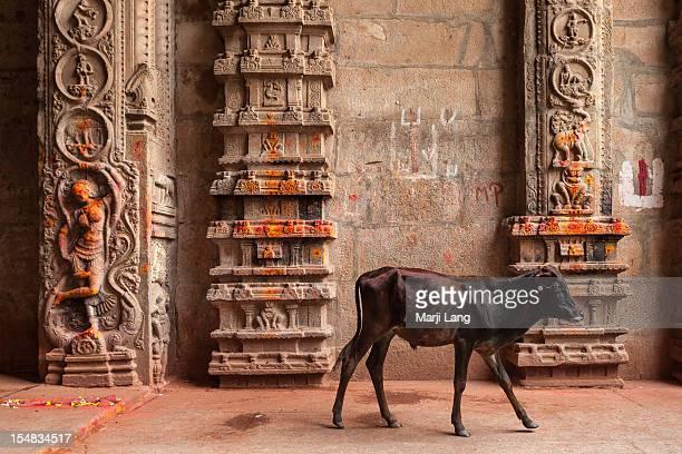 Young calf walking in Hindu temple