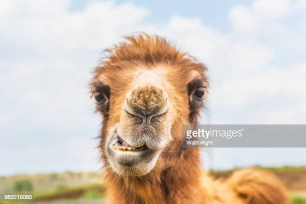 young camel looking at camera - camel stock pictures, royalty-free photos & images