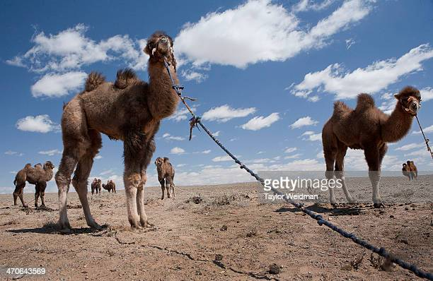 Young camels are tethered in the Gobi Desert as their mothers graze Mongolian pastoral herders make up one of the world's largest remaining nomadic...