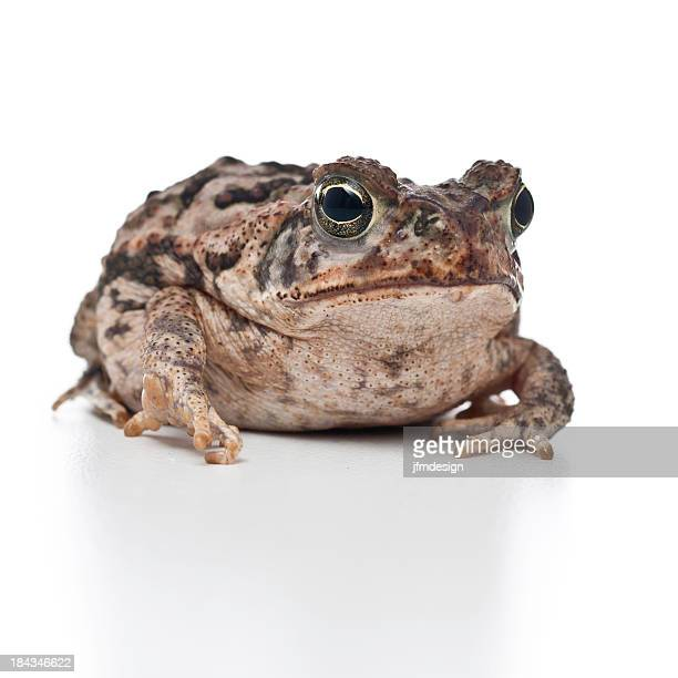young cane toad portrait - cane toad stock pictures, royalty-free photos & images
