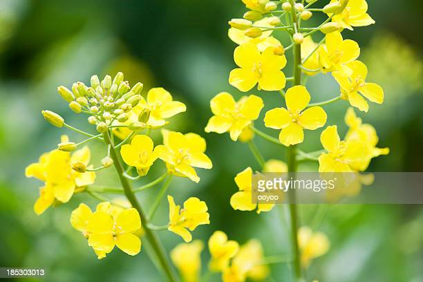 Young Canola Flowers