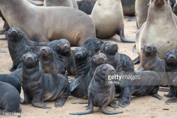 Young cape fur seals are gathered along the beaches of Cape Cross located in Namibia Africa The Cape Cross Seal Reserve is the largest government...