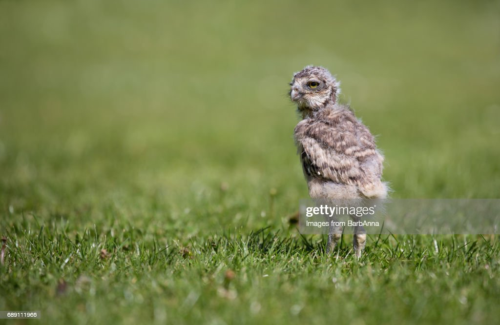 A young, captive bred, Burrowing Owl : Stock Photo
