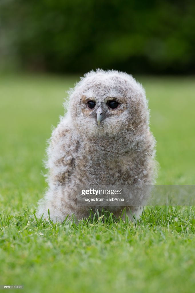 A Young Captive Bred Tawny Owl : Stock Photo