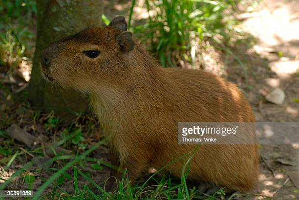 young capybara (hydrochaeris hydrochaeris) resting in the shade, gran chaco, paraguay, south america - vista lateral stock pictures, royalty-free photos & images