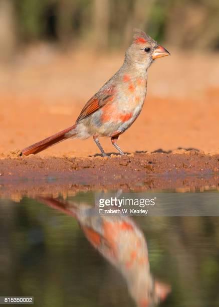 young cardinal - cardinal bird stock photos and pictures