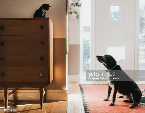 a young cat finds a safe place, out of reach of a dog, on top of a chest of drawer. - animal behaviour stock pictures, royalty-free photos & images