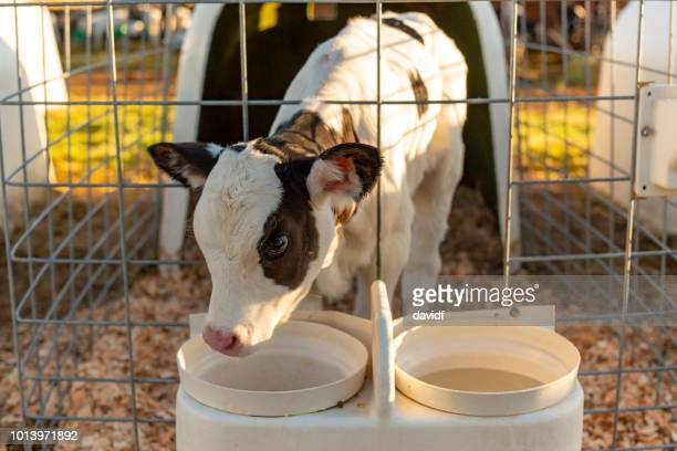 young cattle calf in a stall - calf stock pictures, royalty-free photos & images