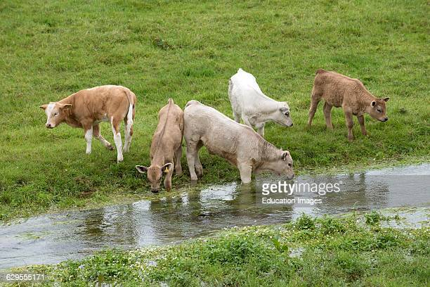 Young cattle drinking from River Swift in the Bourne Valley Hampshire England UK