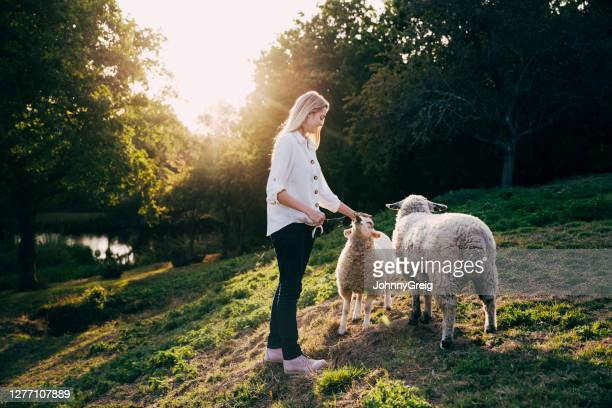 young caucasian woman standing on sunny hillside with sheep - west sussex stock pictures, royalty-free photos & images