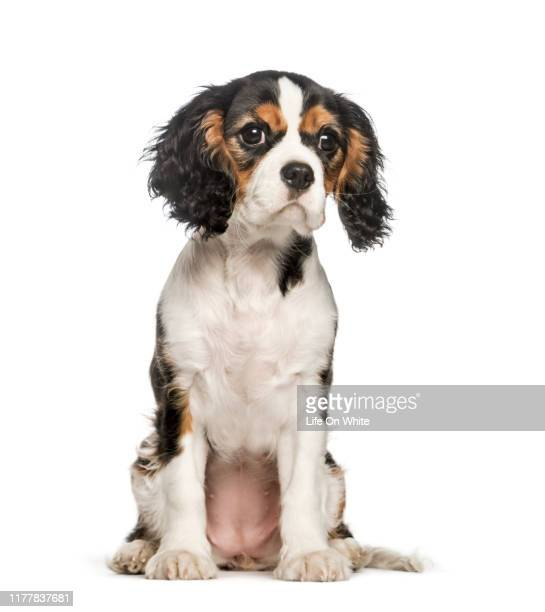 young cavalier king charles spaniels sitting against white background - cavalier king charles spaniel stock pictures, royalty-free photos & images