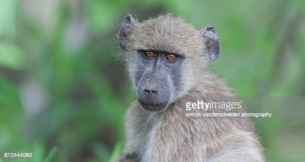 young chacma baboon. - chacma baboon stock photos and pictures