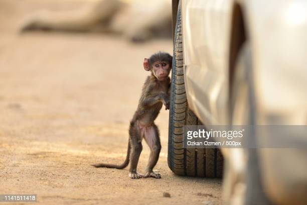 young chacma baboon (papio ursinus) playing near car - chacma baboon stock photos and pictures