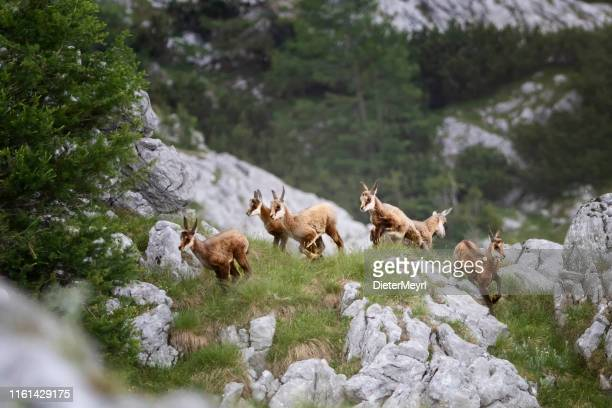 young chamois enjoy the new life in the alps (rupicapra carpatica) - herbivorous stock pictures, royalty-free photos & images