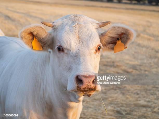 a young charolais calf in the dehesa in salamanca. extensive livestock concept - ox oxen - fotografias e filmes do acervo