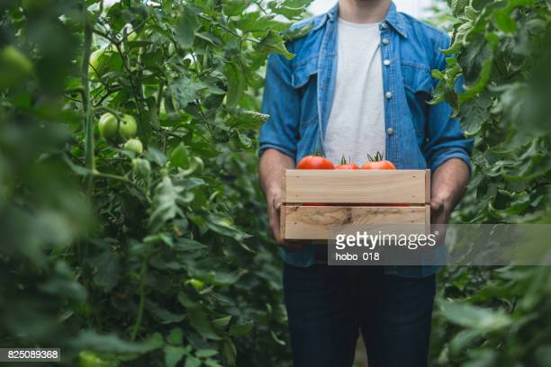 Young cheerful farmer picking tomatoes