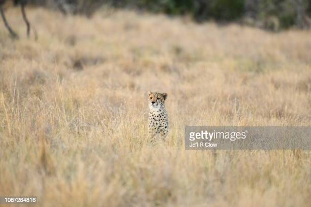 young cheetah in tall grass in south africa - limpopo province stock pictures, royalty-free photos & images