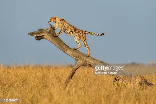 young cheetah on tree trunk,maasai mara national reserve,kenya - kenya stock pictures, royalty-free photos & images