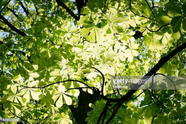 Junge Kastanie Blätter gegen das Licht