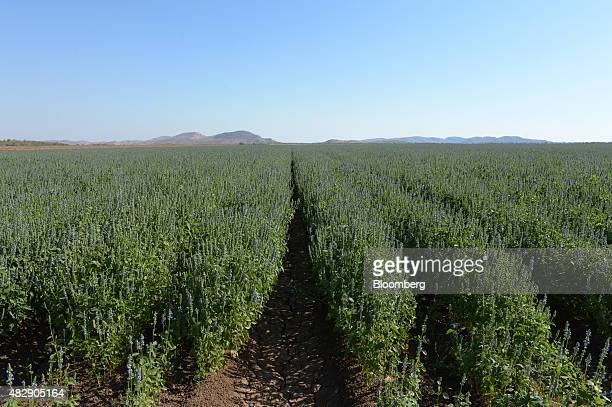 Young chia plants grow on farmland operated by Kimberley Agricultural Investment a subsidiary of Shanghai Zhongfu Group in Kununurra Australia on...
