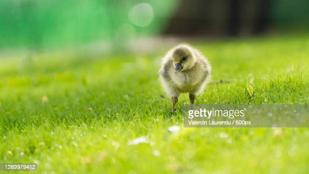 young chick walking on grass, london, united kingdom - young bird stock pictures, royalty-free photos & images