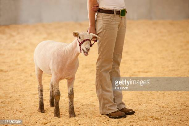 a young child showing a sheep at a agricultural fair - livestock show stock pictures, royalty-free photos & images