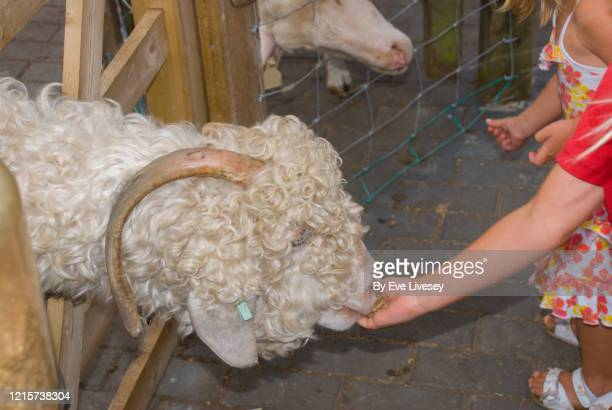 young children feeding sheep - beige shoe stock pictures, royalty-free photos & images