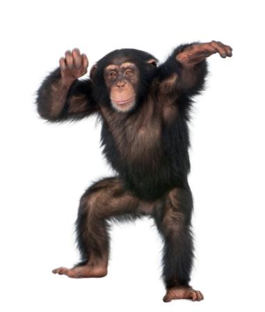 Young Chimpanzee dancing 93217765
