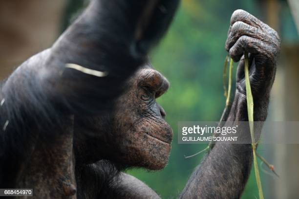 A young chimpanzee is pictured in an enclosure at the Zooparc de Beauval in SaintAignan central France on April 14 2017 / AFP PHOTO / GUILLAUME...