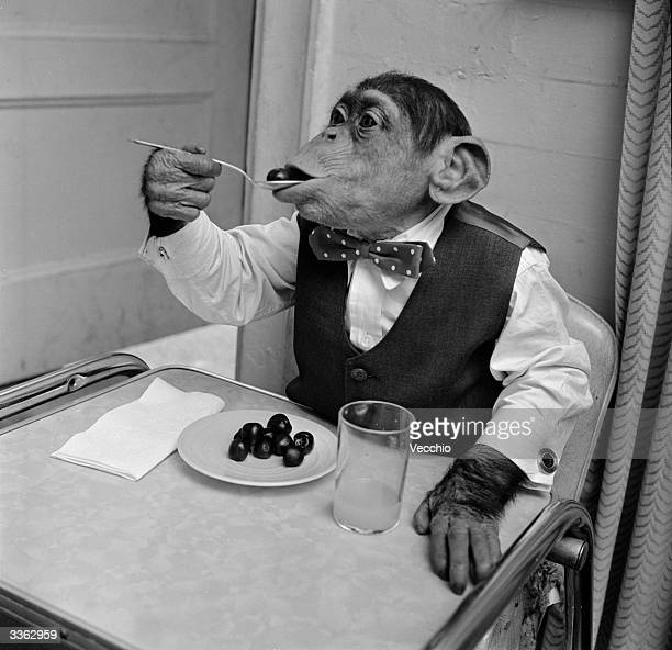 Young chimpanzee Kokomo Jnr eating cherries with a spoon at his owner's apartment in New York City