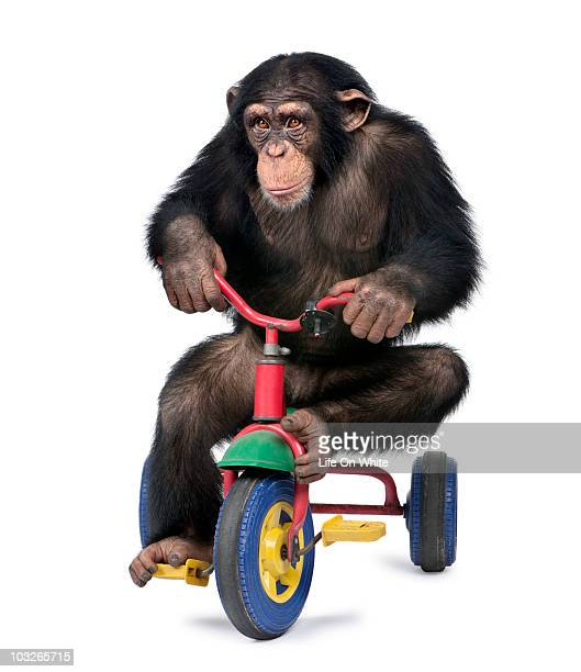 Young Chimpanzee playing on a bicycle