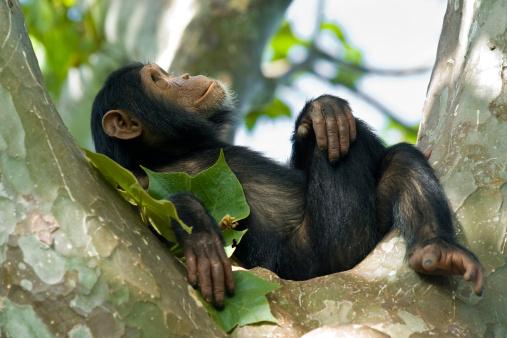 Young chimpanzee relaxing in a tree, wildlife shot, Gombe/Tanzania 157593757